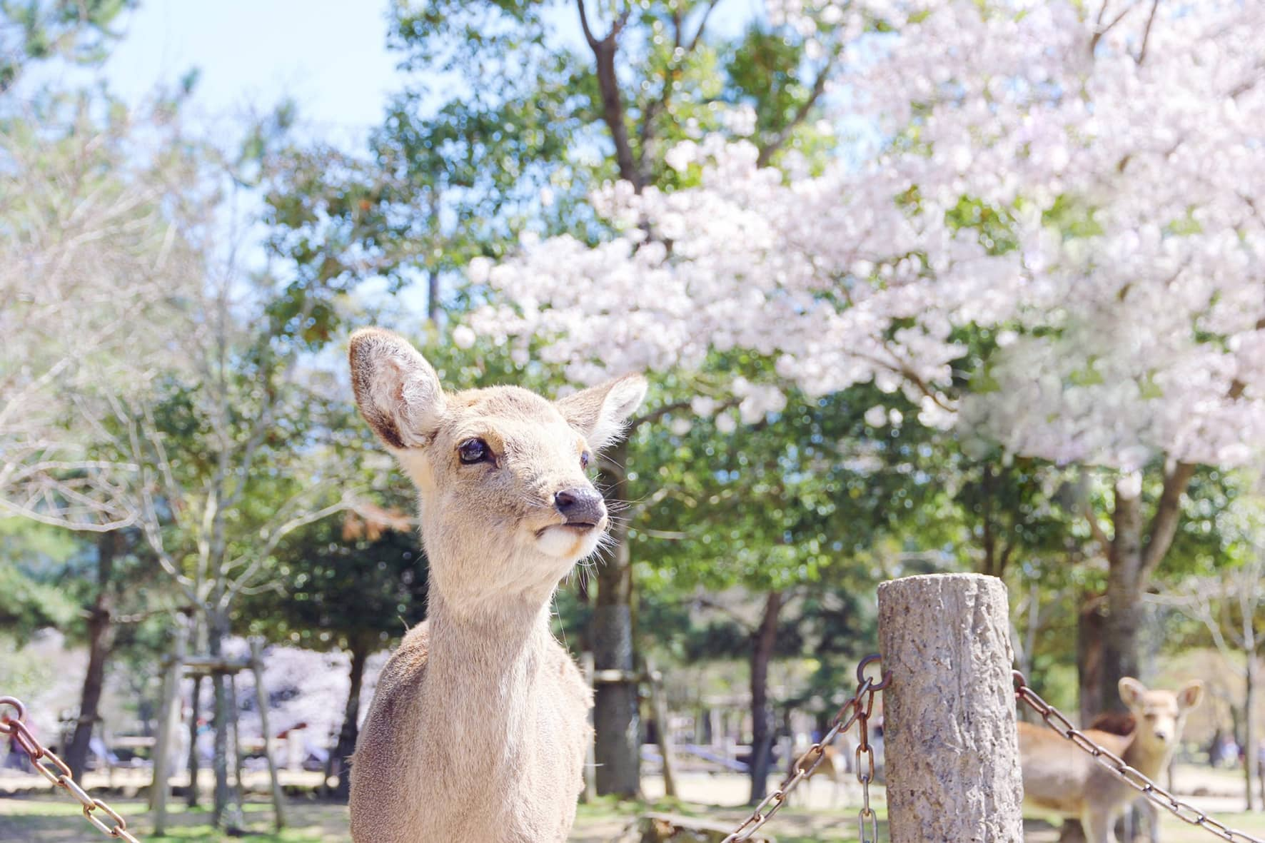 Go to Nara and follow the red deer Bambi